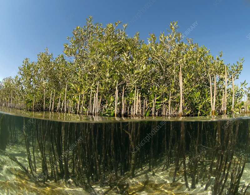 Mangrove trees, split view