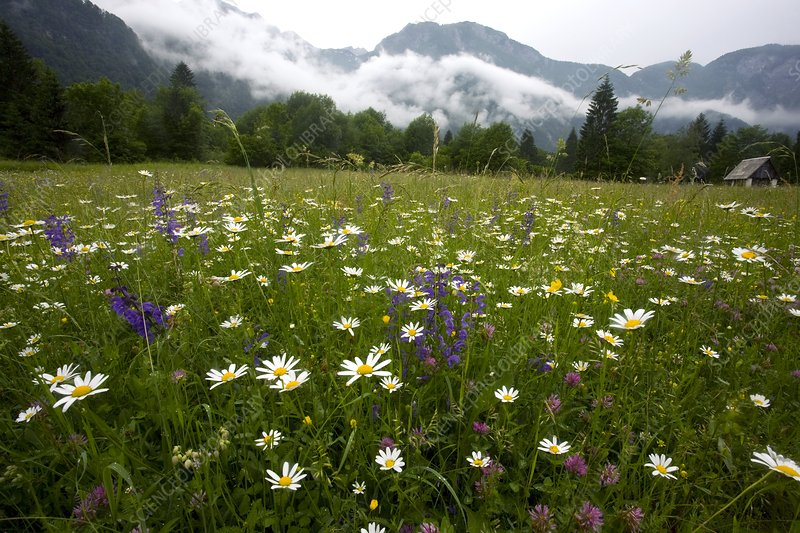 Hay meadow in Slovenia