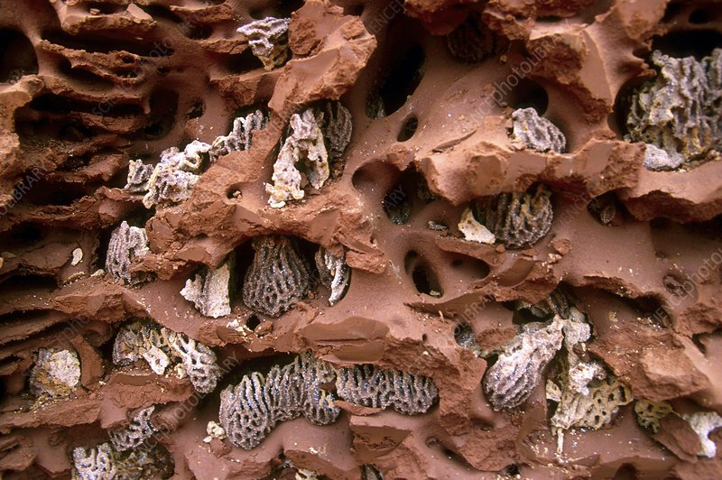 Termite mushrooms (Termitomyces sp.)