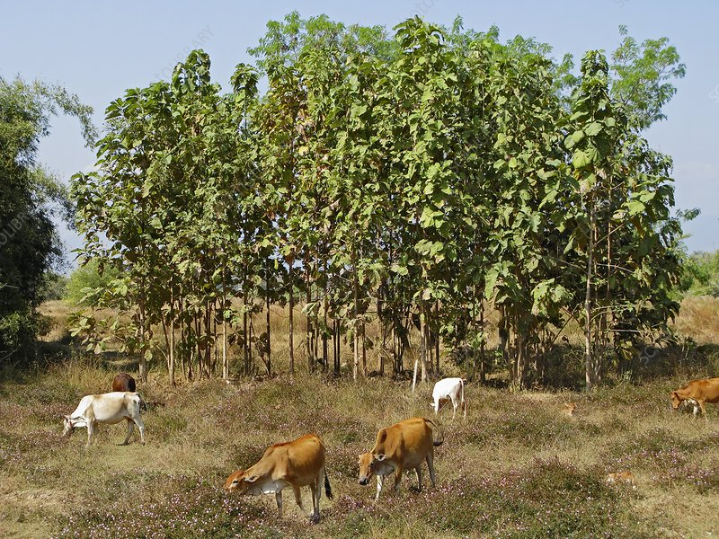 Teak trees and cows, Laos
