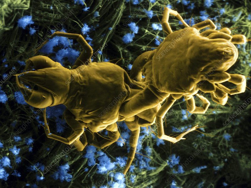 Predatory mites attacking each other, SEM