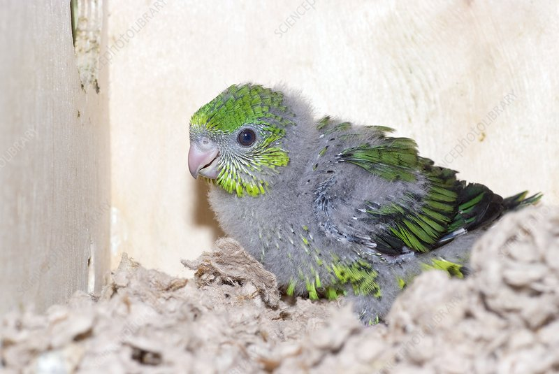 Lineolated parakeet fledgling