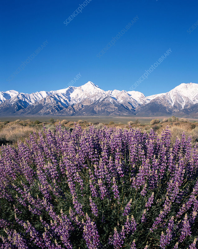 Lupines and the Eastern Sierra