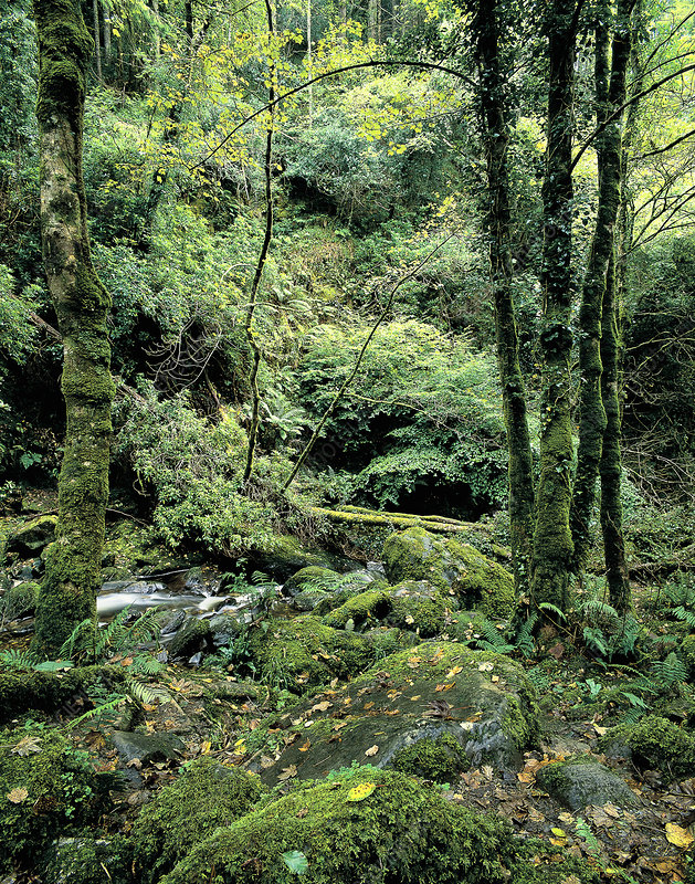 Woodland scene in Ireland