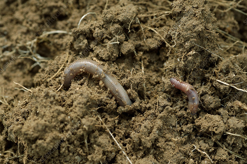 Earthworm (Lumbricus terrestris) in soil