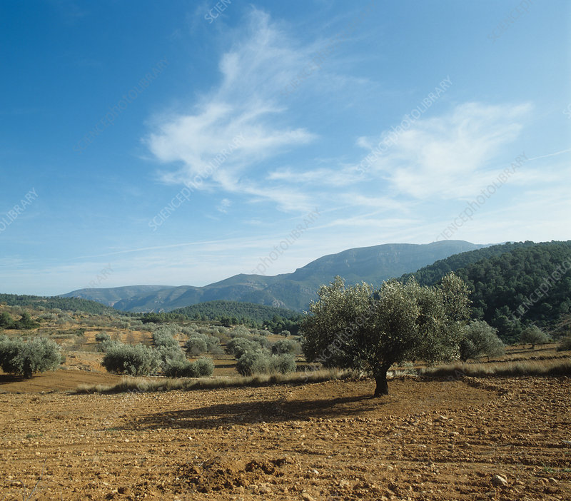View of olive grove in early winter