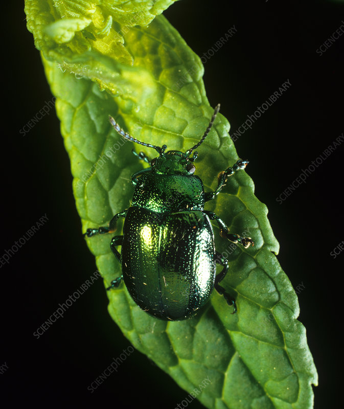 Mint leaf beetle (Chrysolina menthastri)