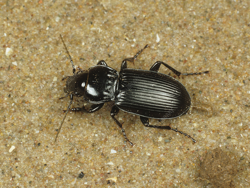 A ground beetle on sand