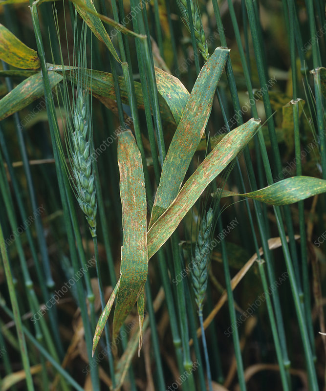 Brown rust infection