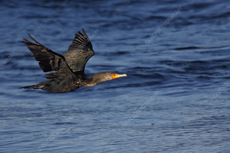 Double-crested Cormorant, Phalacrocorax a