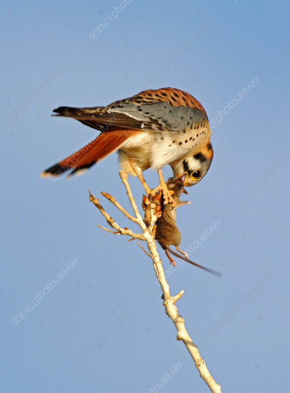 Falconiformes. sub Falconidae - sub fam Falconinae - gênero Falco - Página 3 C0039272-American_Kestrel_with_Prey-SPL