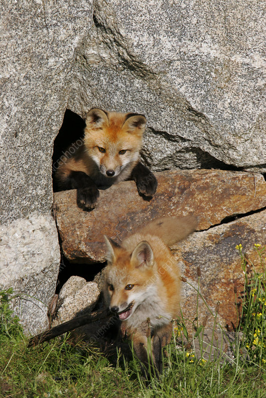 Red Foxes