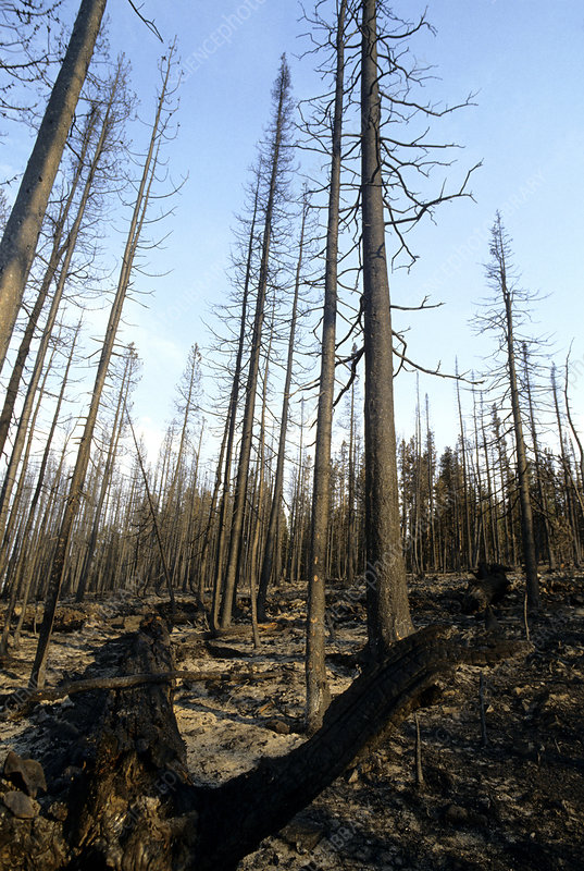 Burned Pine Trees, Yellowstone NP