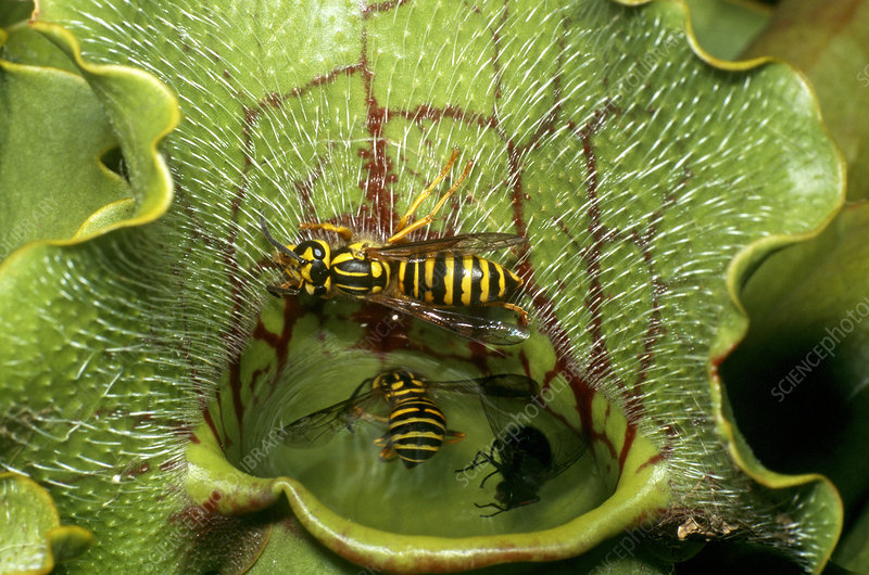 Yellow-jackets Caught in Pitcher Plant