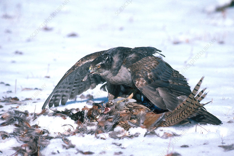 Goshawk Eating Pheasant