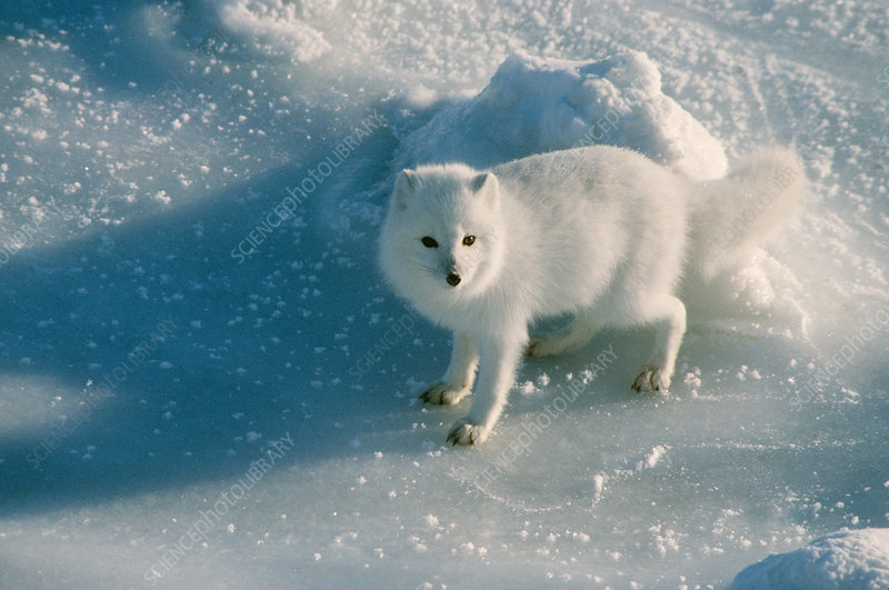 Arctic Fox (Alopex lagopus) in winter