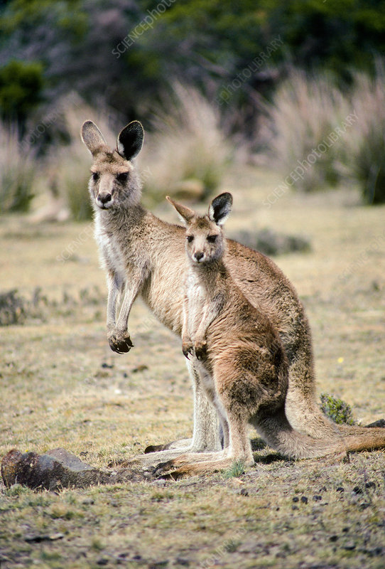 Forester Kangaroo adult and young