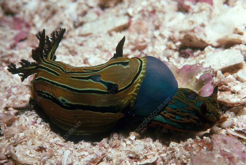 Nudibranch Tries to Eat Nudibranch