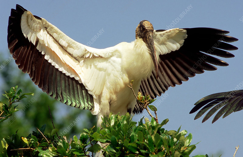 Wood Stork warming plumage