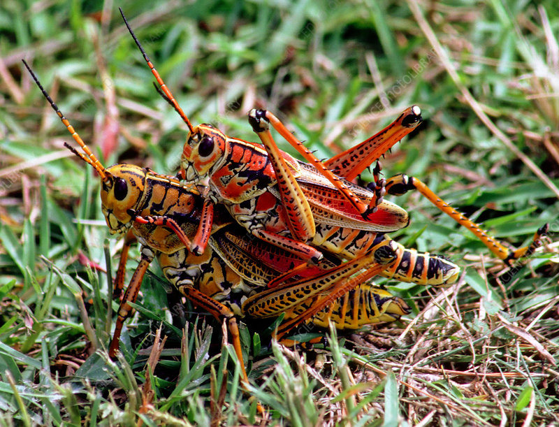 Lubber Grasshoppers mating