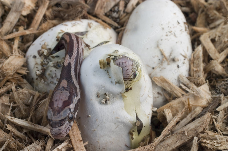 Corn Snakes Hatching