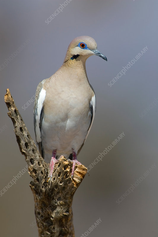 Western White-winged Dove