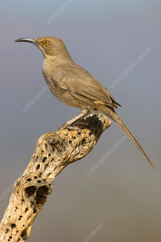 Curve-billed Thrasher (Toxostoma curviros