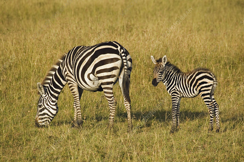 Mother and Baby Plains Zebras
