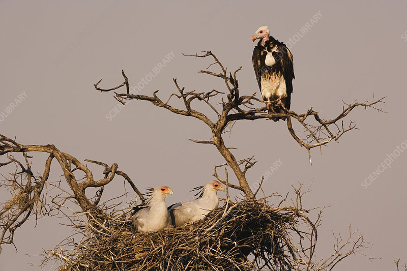 White-headed Vulture and Secretary Birds