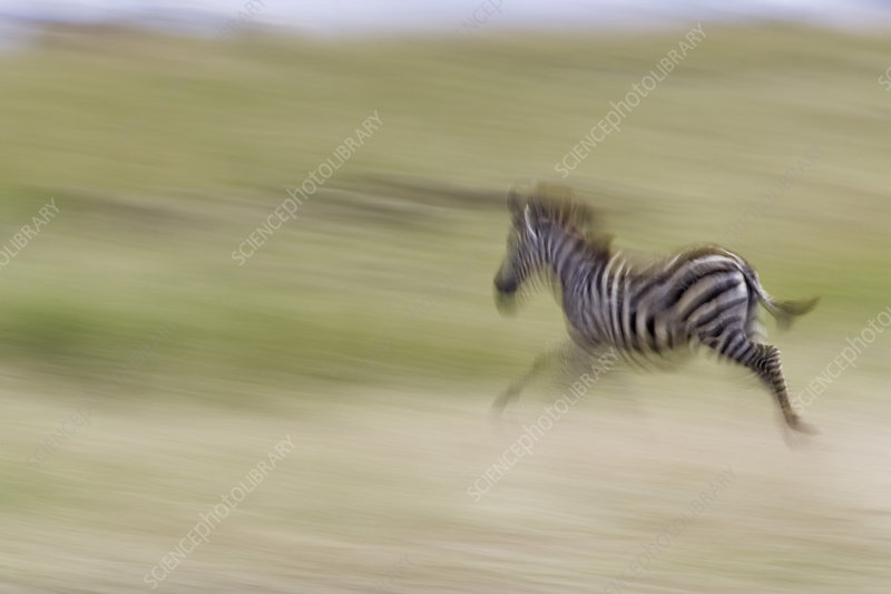 Plains Zebras In Motion