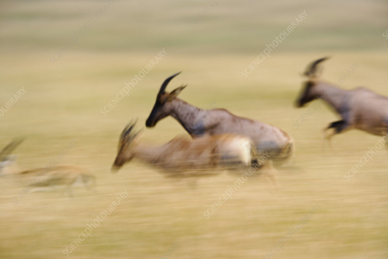Topi Running Through Tall Grass