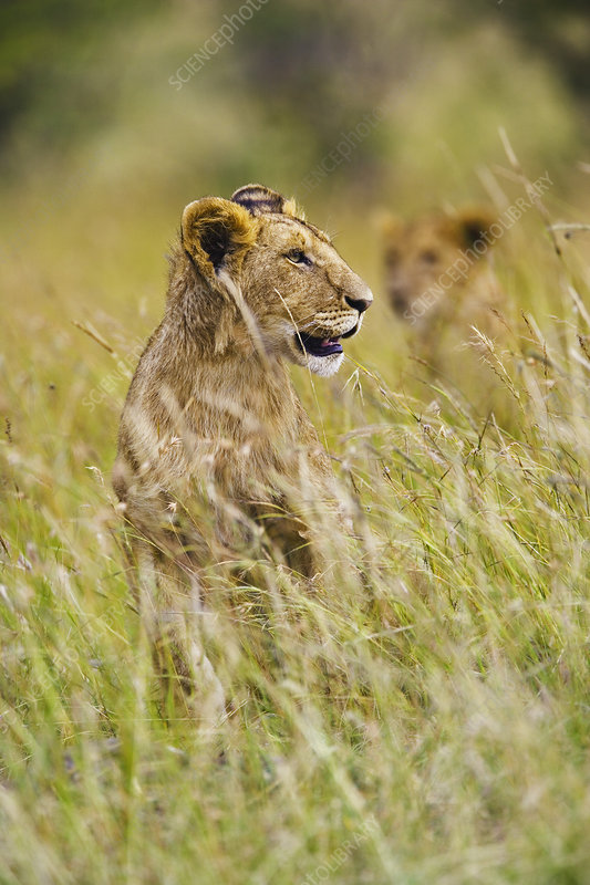 Lioness in Tall Grass
