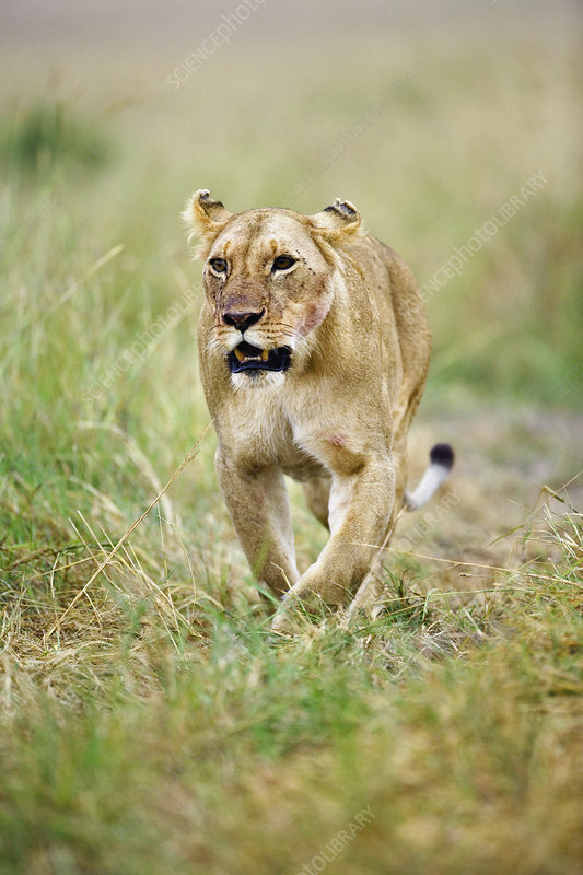 Lioness Returns from Hunt