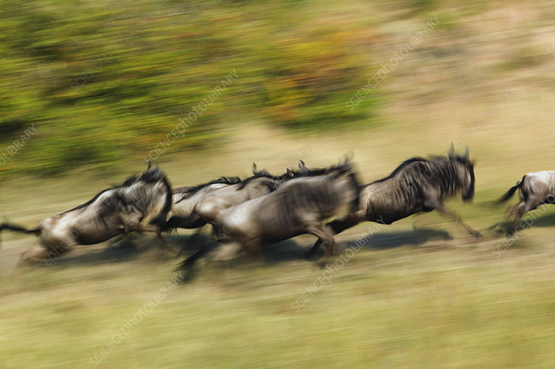Pack of Wildebeests in Motion
