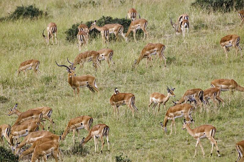 Male Impala Protecting Herd