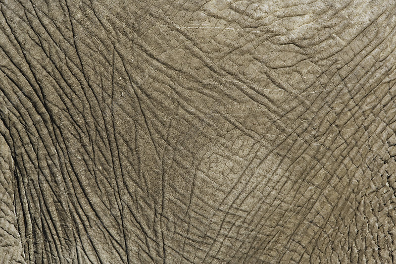 African Elephant's Skin