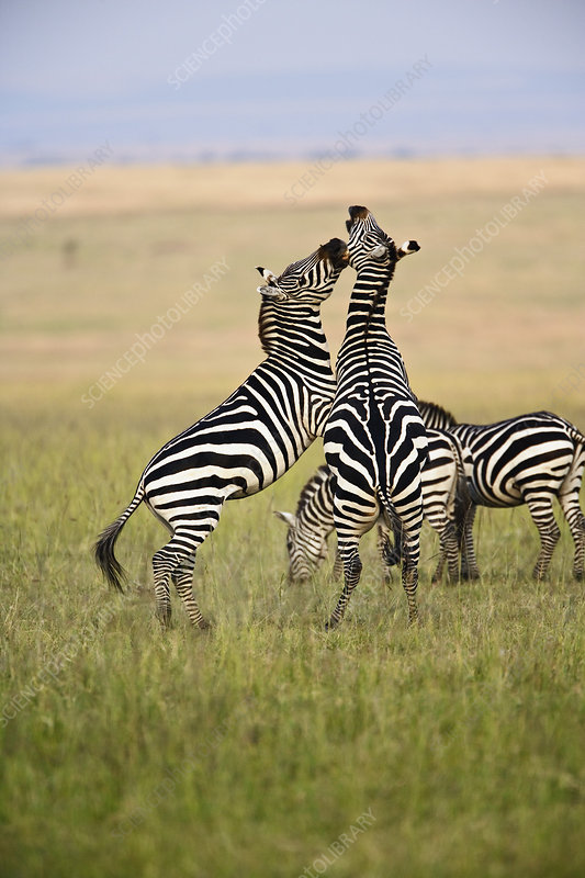 Plains Zebra Stallions Fighting