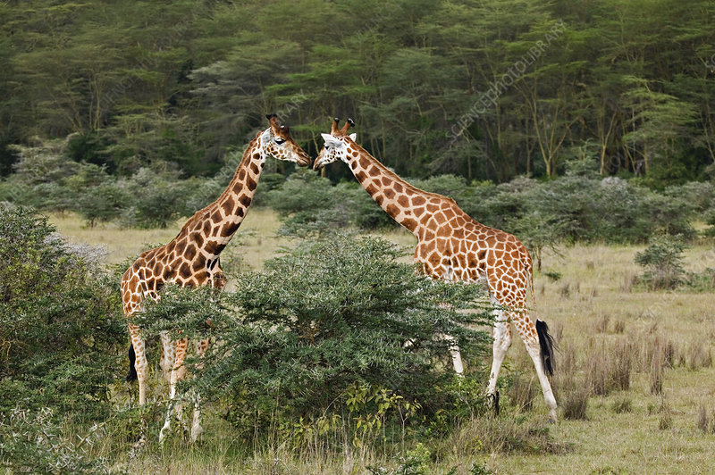 Pair of Rothschild Giraffes Feeding