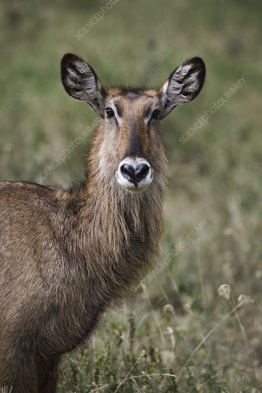 Female Defassa Waterbuck