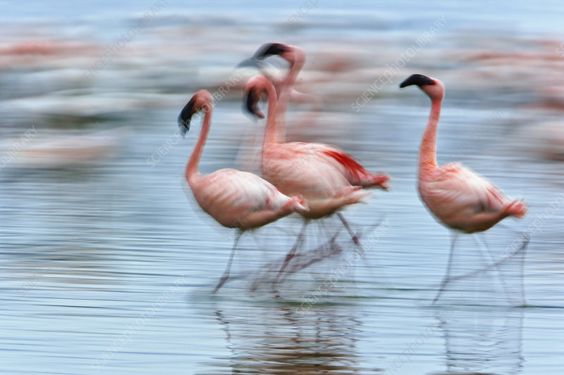 Lesser Flamingos in Motion