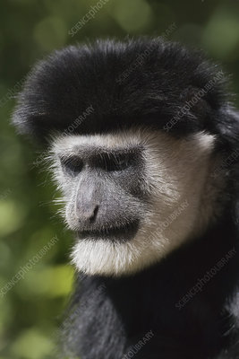 Abyssinian Black and White Colobus