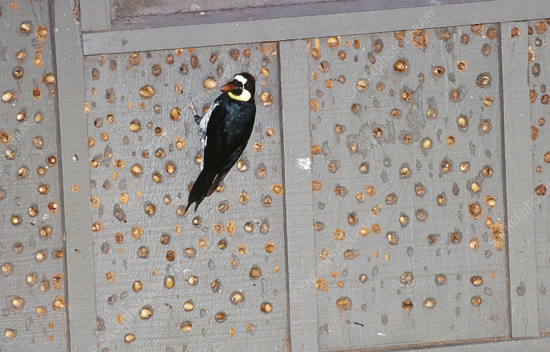 Acorn Woodpecker with acorn cache
