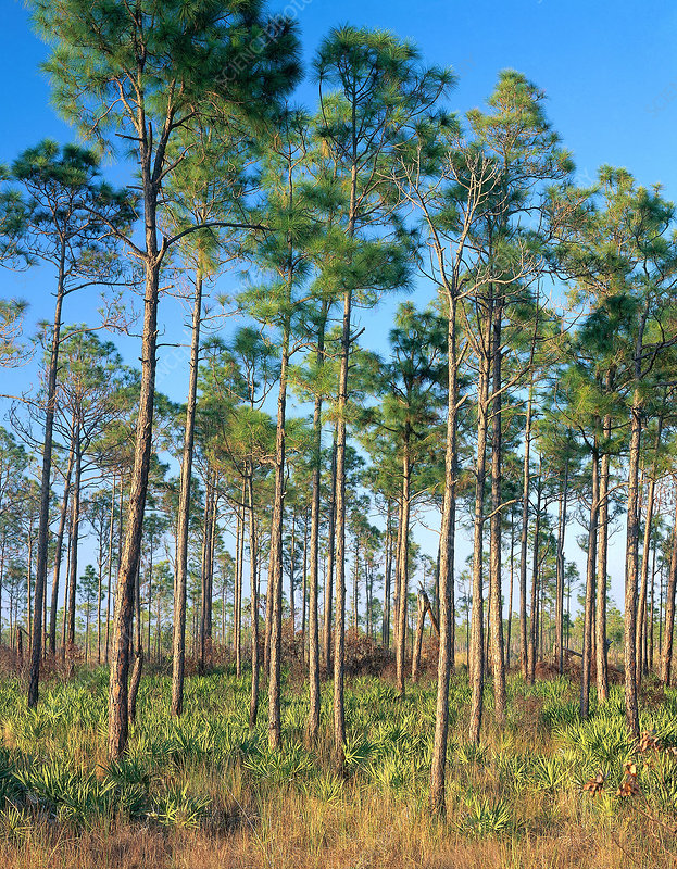 Pines in Everglades National Park