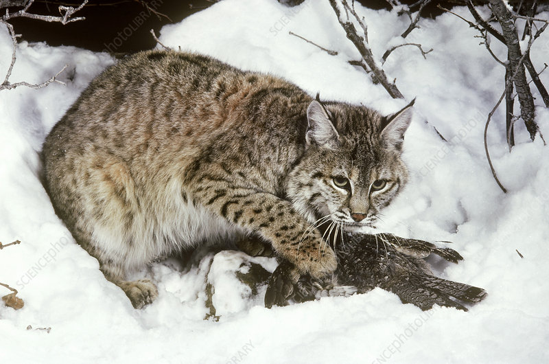 Bobcat with captured Ruffed Grouse