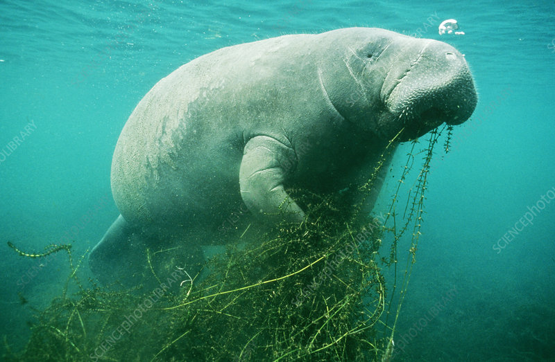 manatee eating hydrilla stock image c003 9606 science photo library