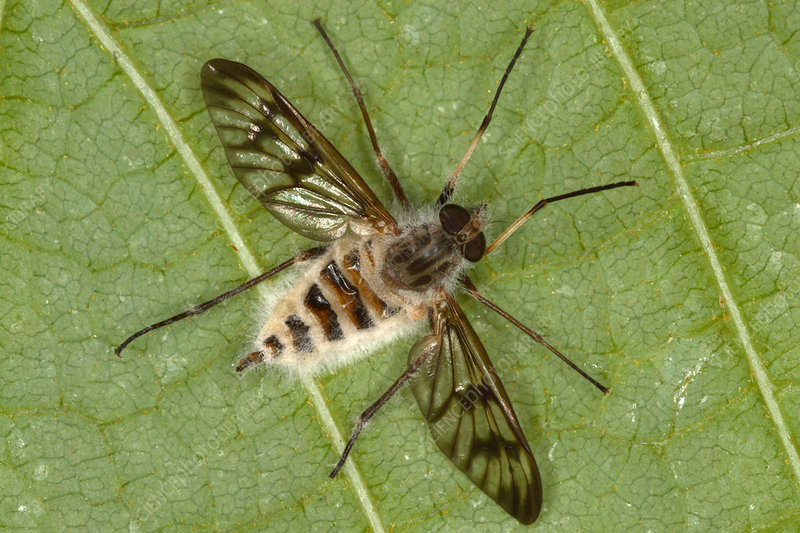 Cluster Fly Killed by Parasitic Fungus