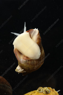 Atlantic Dogwhelk