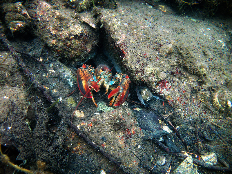 Young Lobster Underwater