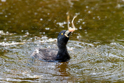 Least Grebe Swallowing Frog