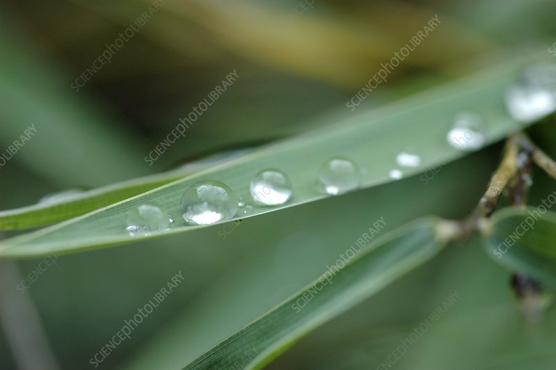 Dew on a bamboo leaf